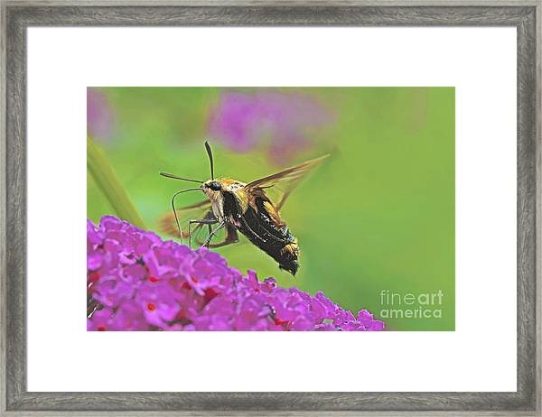 Hummingbird Moth Framed Print