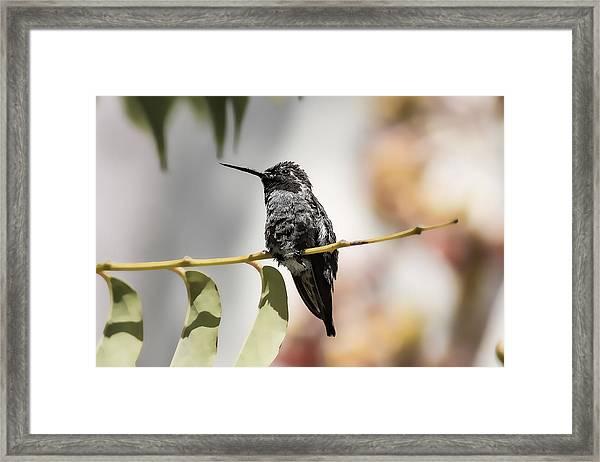 Hummingbird On Branch Framed Print