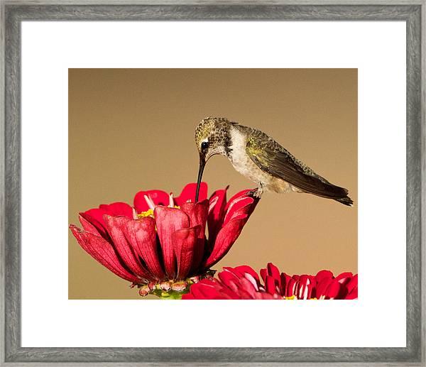 Hummingbird Perched On A Zinnia Framed Print
