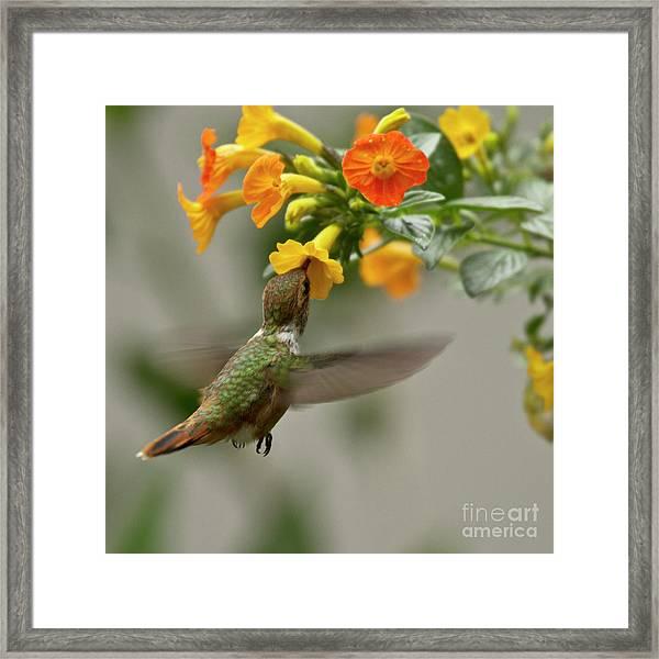Hummingbird Sips Nectar Framed Print