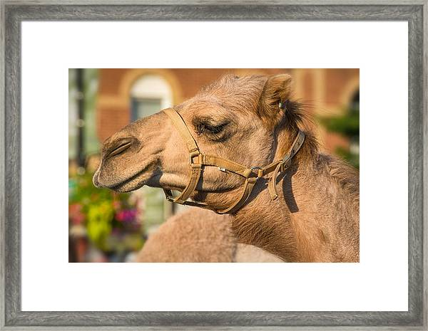 Hump Day Dreaming Framed Print