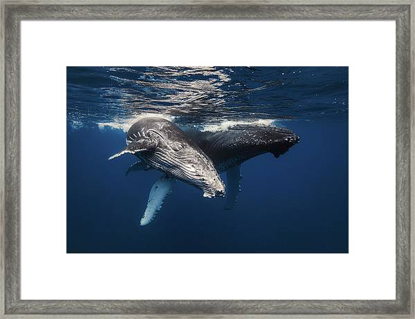 Humpback Whale Family! Framed Print by Barathieu Gabriel