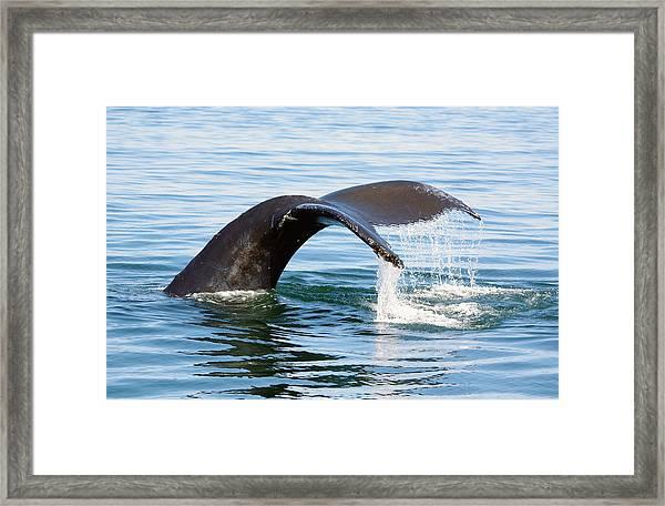 Humpback Whale Fluke. Framed Print