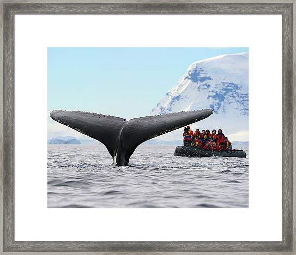 Humpback Whale Fluke  Framed Print
