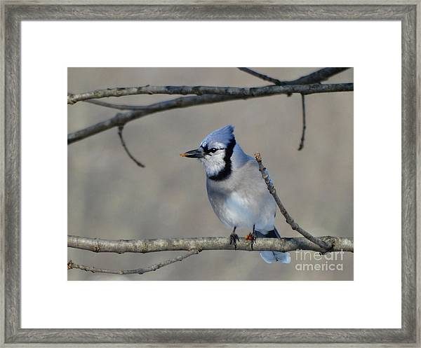 Hungry Blue Jay Framed Print
