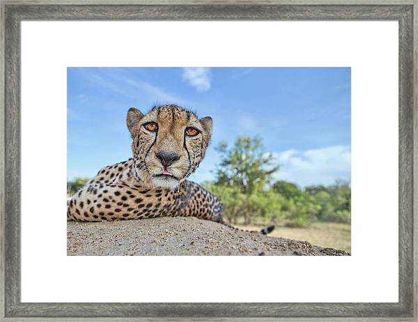 Hungry Cheetah Framed Print by Alessandro Catta