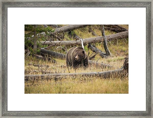 Hungry Grizzly Bear Framed Print by © J. Bingaman Photography