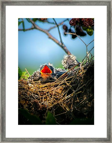 Hungry Tree Swallow Fledgling In Nest Framed Print