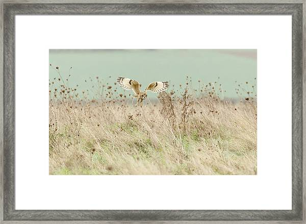 Hunting Short Eared Owl Framed Print
