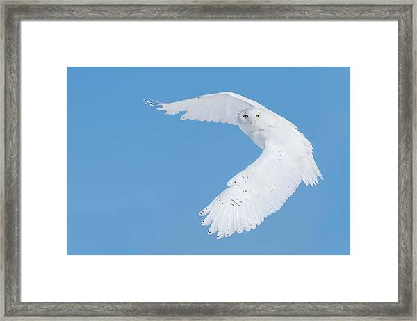 Hunting Snowy Owl Framed Print by Mircea Costina