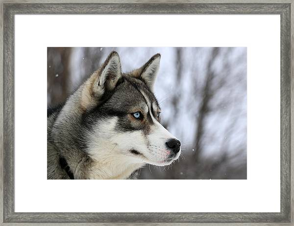 Husky Looking Away, Quebec, Canada Framed Print by Jonathan