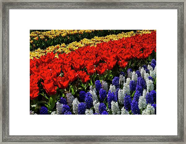 Hyacinths And Tulips Glow In The Sun Framed Print