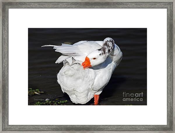 Hybrid Goose Grooming After A Swim Framed Print