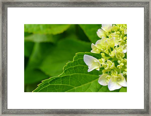 Framed Print featuring the photograph Hydrangea #1 by Beth Sawickie