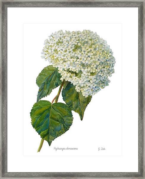 Hydrangea Aborescens Framed Print