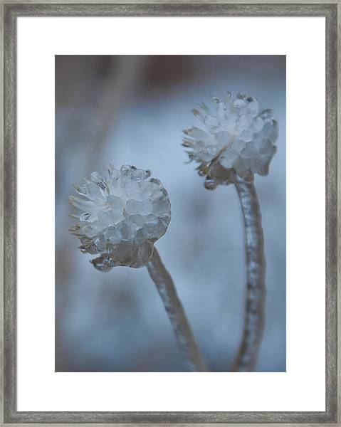 Ice-covered Winter Flowers With Blue Background Framed Print