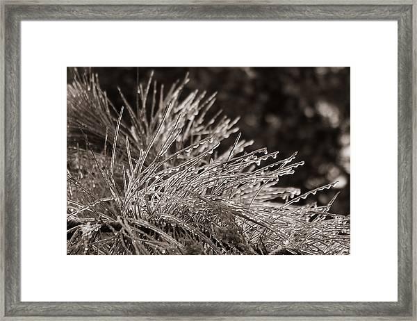 Ice On Pine Framed Print