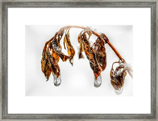 Iced Pokeweed Framed Print