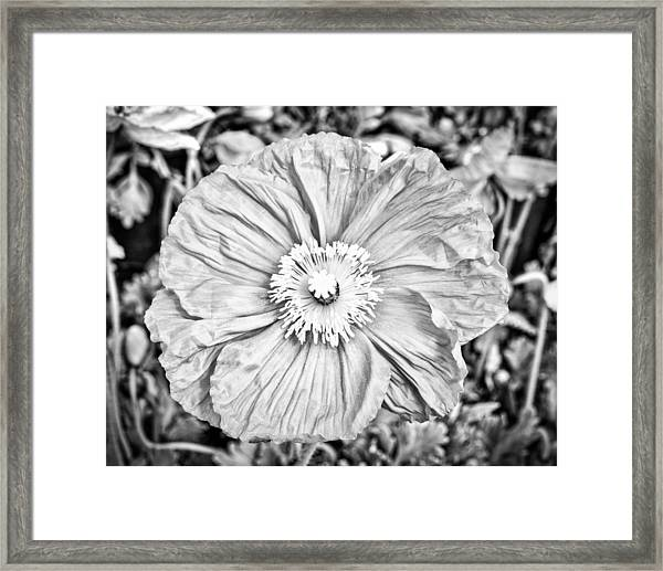 Framed Print featuring the photograph Iceland Poppy In Black And White by Priya Ghose