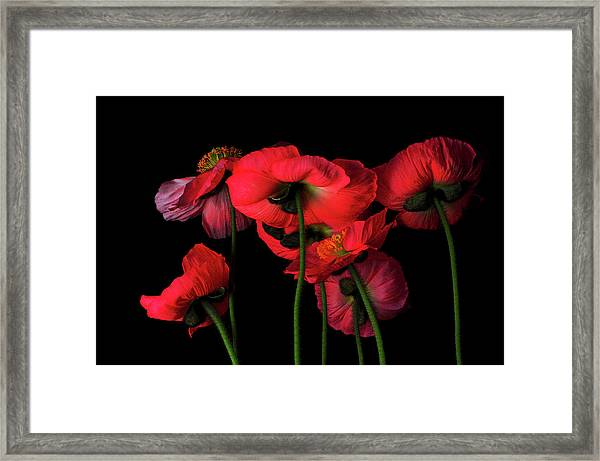 Icelandic Poppies - The View From Down Framed Print