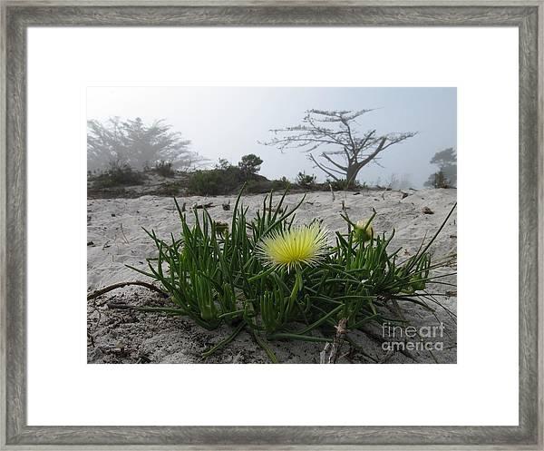 Iceplant Bloom On Carmel Dunes Framed Print