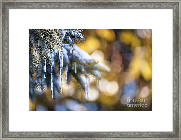 Icicles On Fir Tree In Winter Framed Print