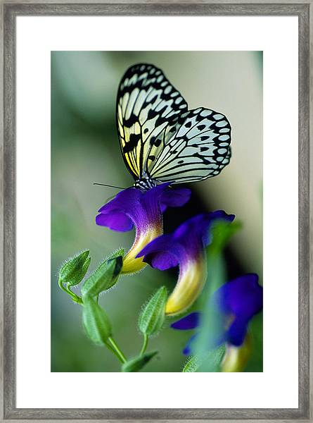 Idea Lecomoe Tree Nymph Butterfly On Framed Print by David Q. Cavagnaro