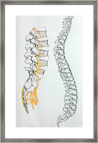 Illustration Of The Spine And Spinal Nerves Framed Print
