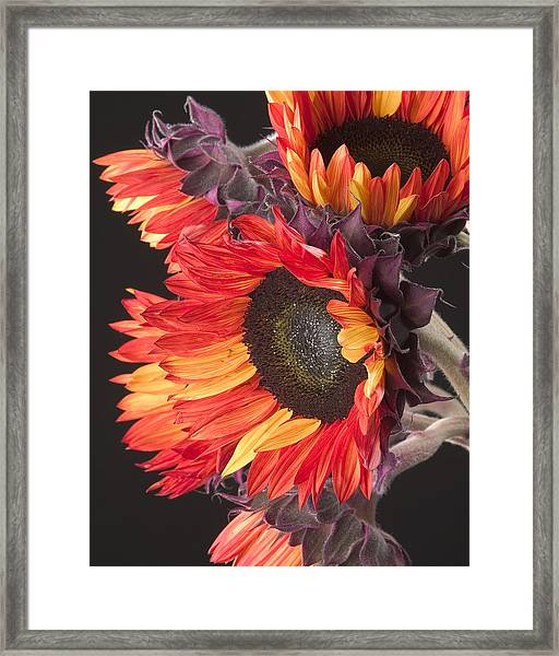 Imagination - Sunflower 01 Framed Print