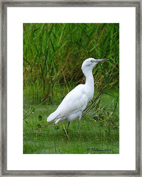 Immature Little Blue Heron Framed Print