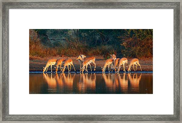 Impala Herd With Reflections In Water Framed Print