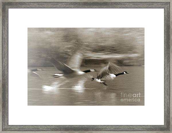 In A Blur Of Feathers Framed Print