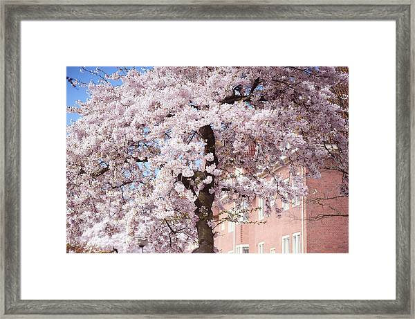 In Its Glory. Pink Spring In Amsterdam Framed Print
