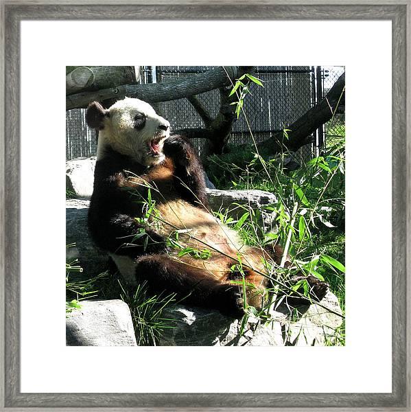 In Need Of More Sleep. Er Shun Giant Panda Series. Toronto Zoo Framed Print