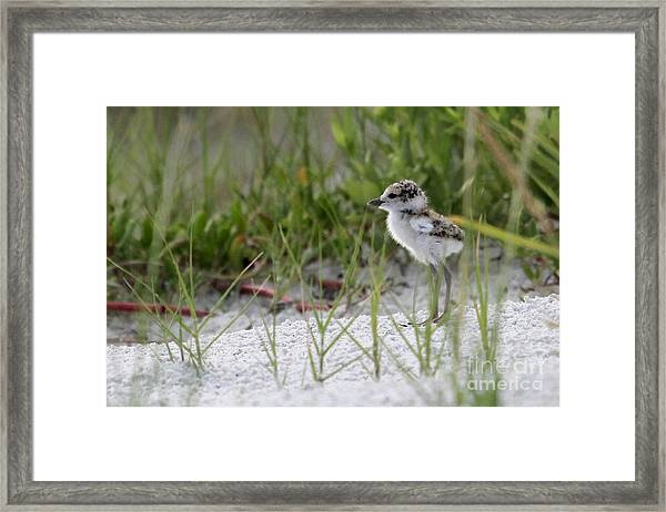 In The Grass - Wilson's Plover Chick Framed Print