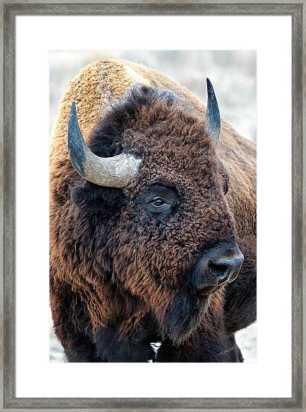 Bison The Mighty Beast Bison Das Machtige Tier North American Wildlife By Olena Art Framed Print