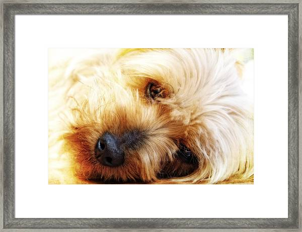 In Your Yorkie Dreams Framed Print