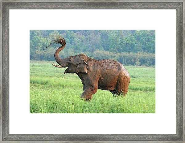 Indian Elephant Dust Bathing,corbett Framed Print