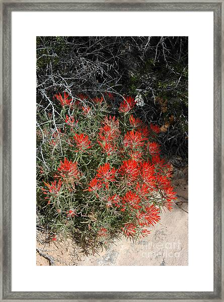 333p Indian Paintbrush Flower Framed Print