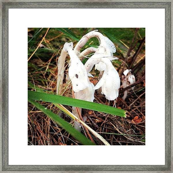 Indian Pipe Framed Print