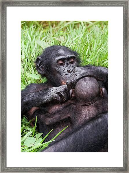 Infant Bonobo Ape And Mother Framed Print