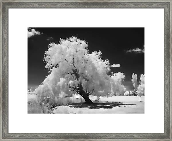 Infrared Willow Tree Study  Framed Print