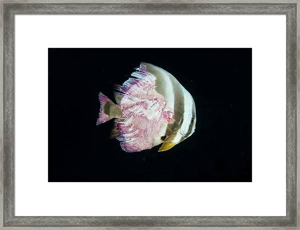 Injured Longfin Spadefish Framed Print