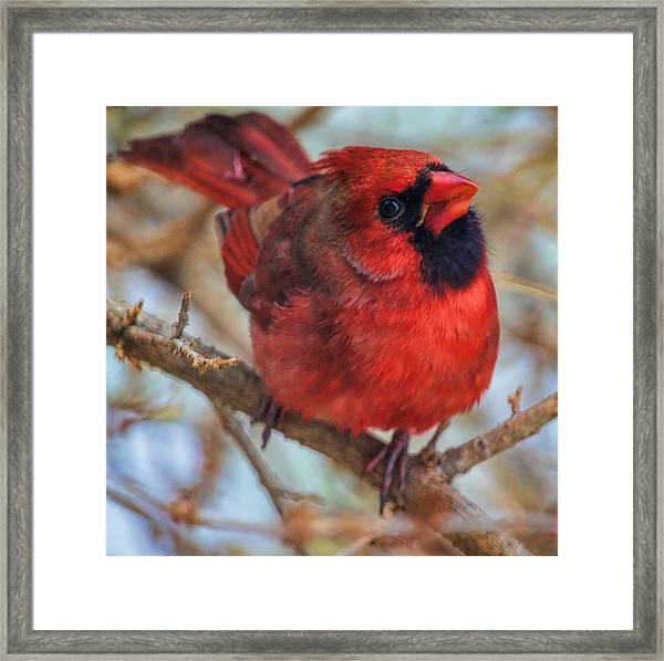 Inquisitive Cardinal Framed Print