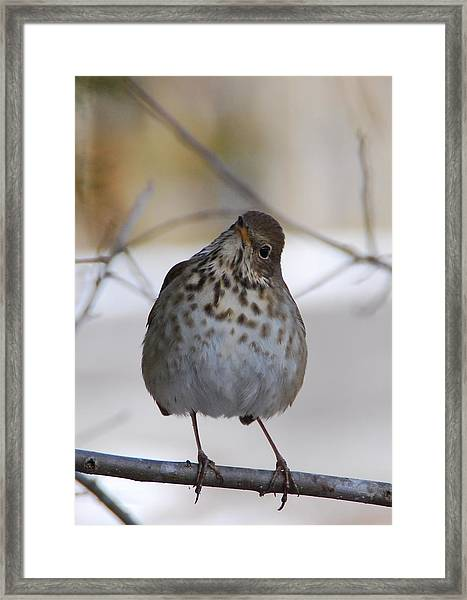 Inquisitive Hermit Thrush Framed Print
