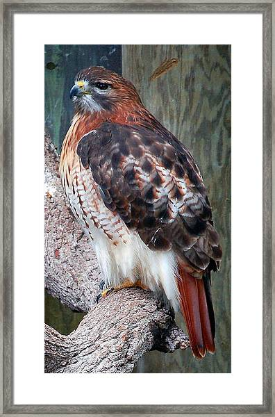 Inquisitve Red Tailed Male Hawk Framed Print