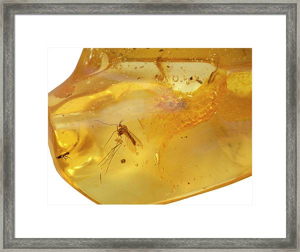 Insects In Fossil Amber Framed Print by Science Stock Photography