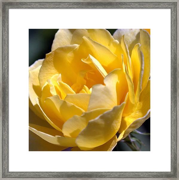 Inside The Yellow Rose Framed Print