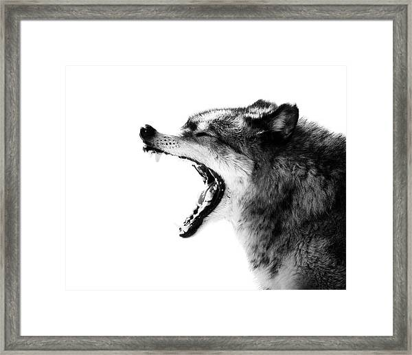 Intense Gray Wolf Portrait  Framed Print