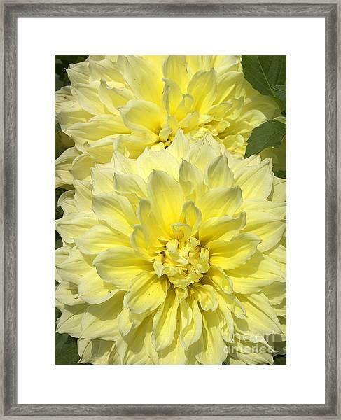 Intense Yellow Dahlias Framed Print